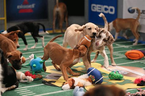 animal planet puppy bowl mvp vote puppy bowl x starting lineup announced la times