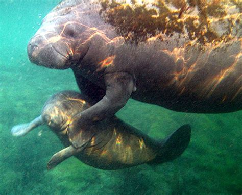 crystal river boat tours crystal river manatee tour swim with manatees tours