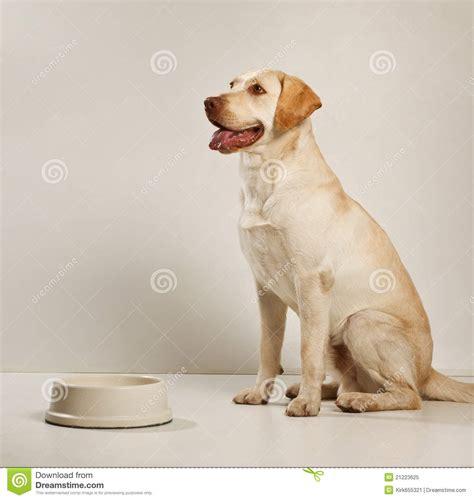 alimentazione labrador adulto labrador perro adulto
