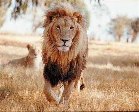 imagenes de leones reproduciendose top 15 felinos extintos o en peligro de extinci 243 n