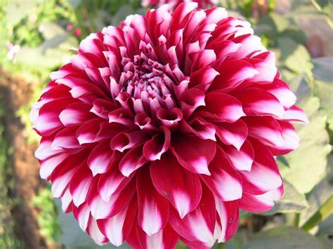 a delhi gardener s blog winter annuals season again in delhi