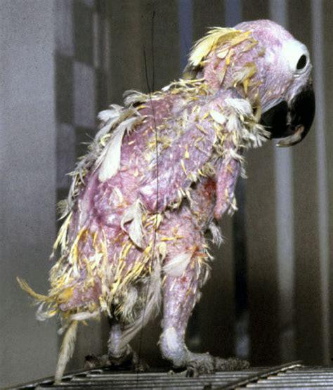 psittacine beak feather disease