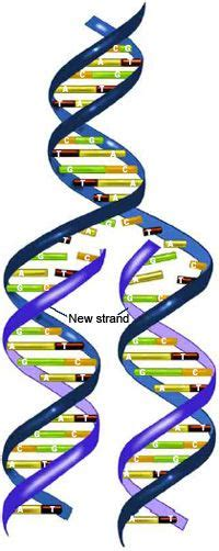 25 Best Ideas About Complementary Dna On Pinterest Dna Genetics And Cell Biology What Acts As The Template In Dna Replication