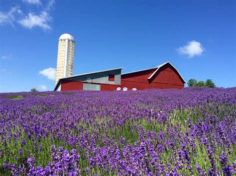 cherry point farm shelby mi lavender labyrinth cherry point farm 100 images