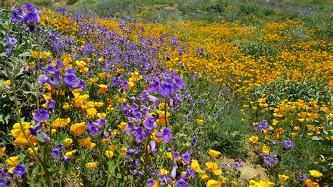borrego super bloom anza borrego super bloom alternatives anza borrego
