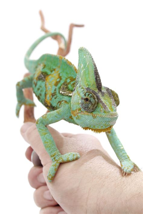 veiled chameleon care sheet veiled chameleon pinterest beautiful facts and animals