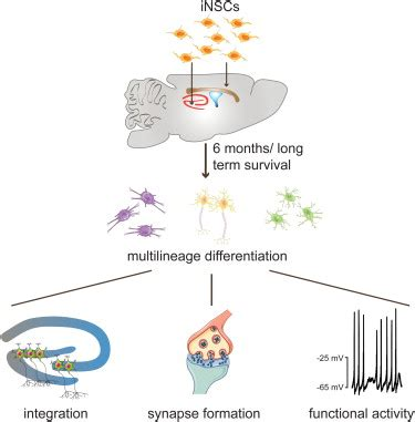 induced neural stem cells achieve long term survival and