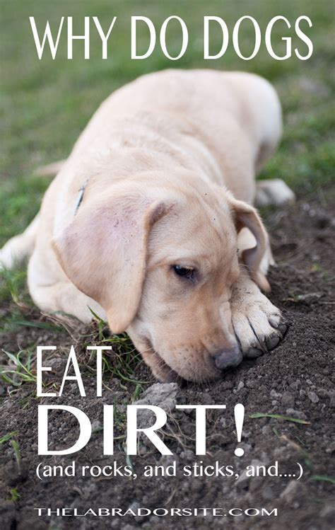 why do dogs eat other dogs why do dogs eat dirt stones and other trash the labrador site