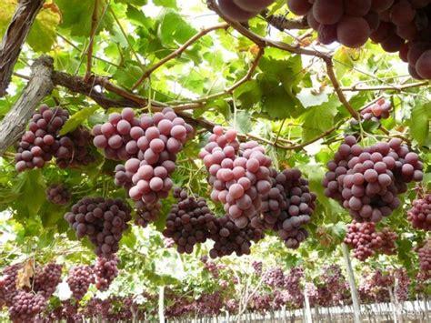 uva da tavola globe l uva da tavola dalla a alla z agrodolce
