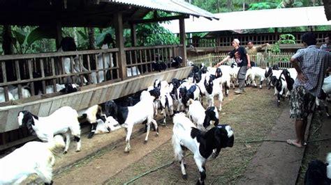 Anakan Kambing Etawa kambing etawa kaligesing price www kambingkaligesing