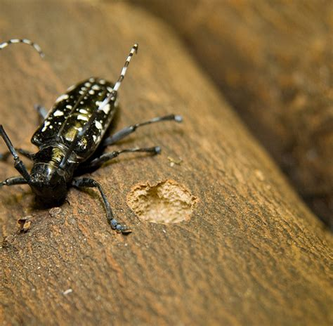 asian beetle can we eradicate the asian longhorned beetle usda