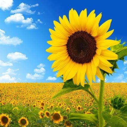 wallpaper hd bunga matahari hd gambar bunga matahari langit gratis foto download gratis