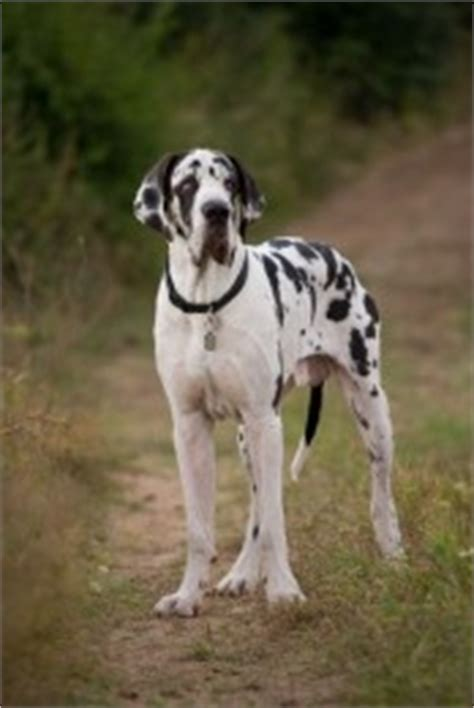 great dane puppies for sale in ct puppies for sale in ct