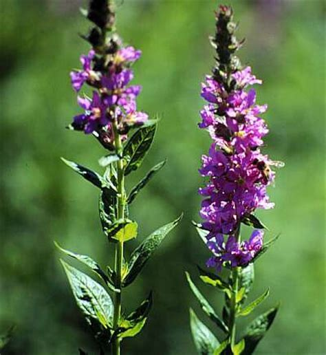 purple loosestrife weed control salt lake county