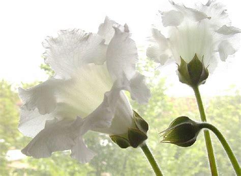 allevamento fiori bianchi buona giornata cancello ed arnone news