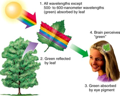 why are and green colors copy of quot photosynthesis notes quot