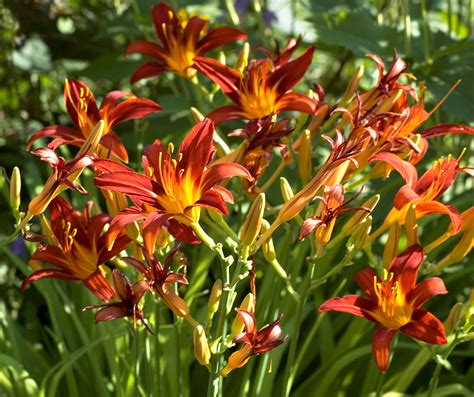 Daylilies For Shade The Flower That Is Drought Resistant Flower