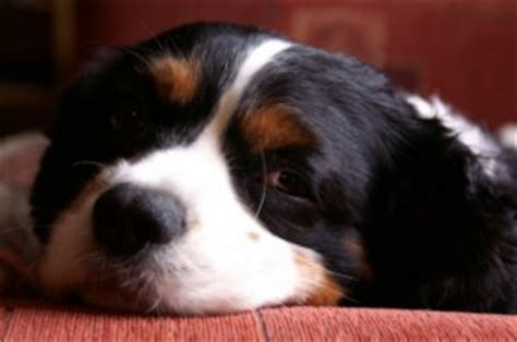 symptoms of murmur in dogs symptoms of a murmur or canine health problems symptoms of a sick