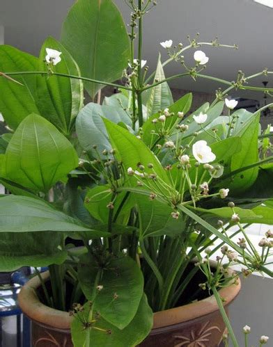 Bibit Melati Air tanaman melati air mexican sword plant bibitbunga