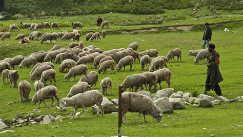 how to your to herd image gallery herd of sheep