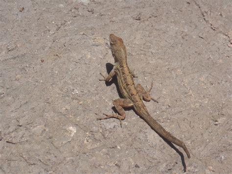 gecko green florida gecko lizard green gecko lizard florida gecko