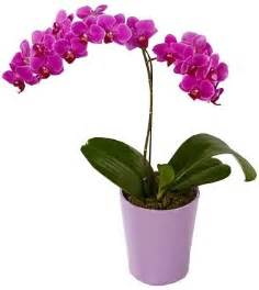 enjoy january bloom indoors with easy to grow orchids