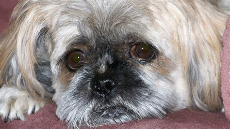 shih tzu teeth cleaning are shih tzus family dogs see what real shih tzu owners say