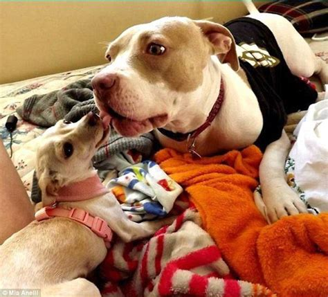 adopt a pitbull puppy rescue pit bull helps other rescue dogs get ready for adoption