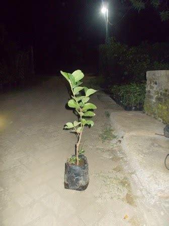Harga Bibit Jambu Sukun bibit jambu sukun merah jual bibit tanaman buah hias hutan