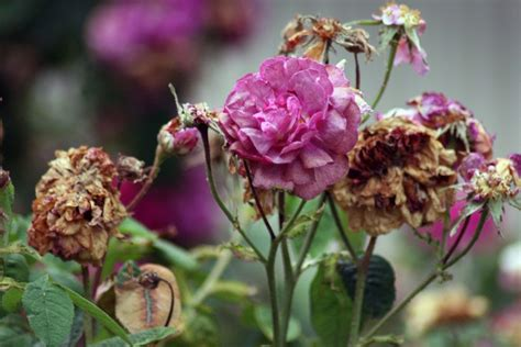 deadheading knockout roses deadheading roses how to deadhead roses for more blooms