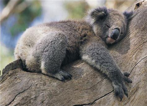 funny koala images funny animal