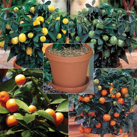 citrus fruit tree quartet citrus tree collection kit citrus trees stark