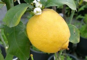 fioritura limoni in vaso albero nano alberi piante pianta di limone limoni 4