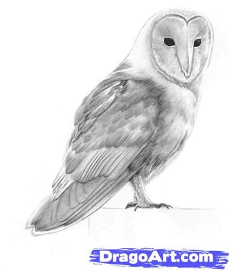 How To Draw A Barn Owl Step By Step Birds Animals Free Barn Owl Drawing