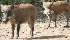 wild pigs rule the night in pakistan capital | the seattle