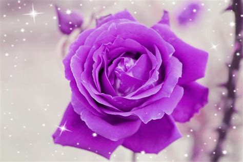 rosa fiore illustrazione gratis rosa viola romantica chiudi