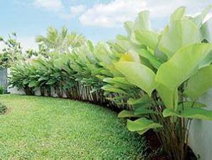 heliconia  sejuk  segar tips petani