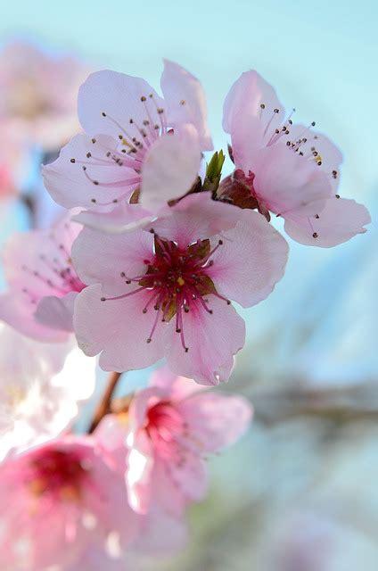 fiore di pesco fiori di pesco primavera colorato 183 foto gratis su pixabay