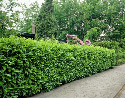 prunus laurocerasus rotundifolia hedge 5 cherry laurel hedge images