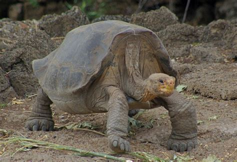7 Amazing Animals From The Galapagos Islands by The Galapagos Tortoise Facts Pictures The Wildlife
