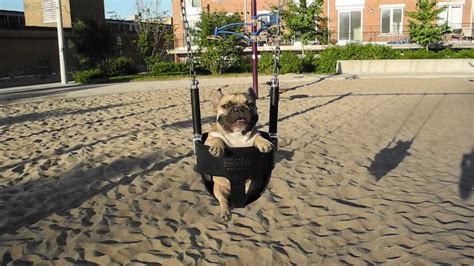 015 On A Swing French Bulldog Jean Claude Jcvdog