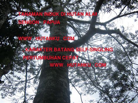 Benih Sengon Unggul menyediakan bibit dan benih unggul bersertifikat untuk kbr