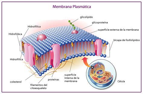 partes de la membrana celular membrana plasm 225 tica estructura y funciones