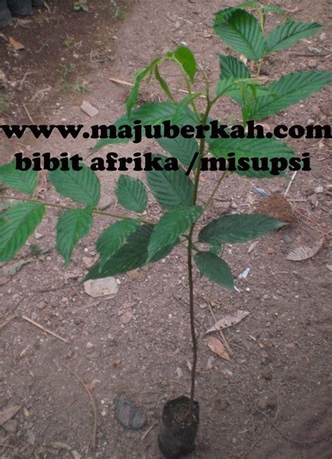 Jual Bibit Lele Afrika bibit afrika bibit tanaman afrika jual bibit tanaman