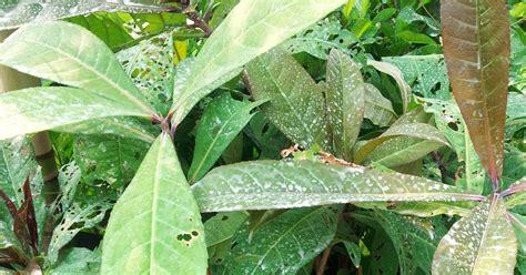 Benih Durian Tembaga bumi hijau nursery 002279488 d benih pokok putat