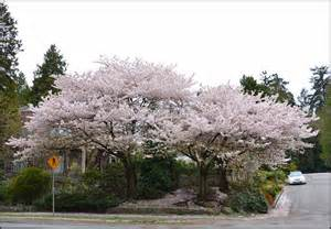vancouver flowering akebono cherry tree festival oddvin vedo