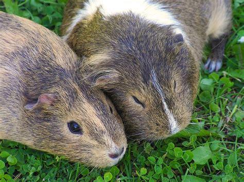 meerschweinchen und kaninchen in einem stall meerschweinchen und kaninchen tierrechtsorganisation