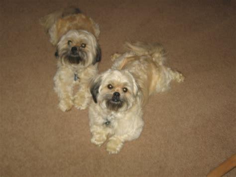 peekapoo puppies my peekapoo puppies cathy mighton animals
