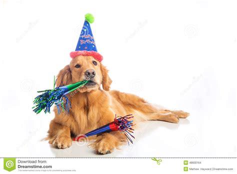 golden retriever birthday pictures birthday stock photo image of friend cheerful 48600164