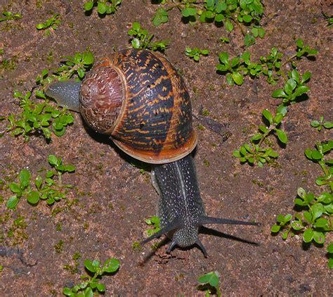 types of garden slugs snail